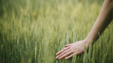Hand berührt Weizenähren auf einem